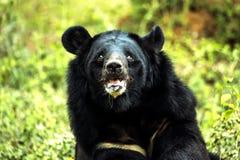 Гималайский медведь Стоковые Изображения