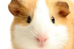 гинея крупного плана над белизной свиньи Стоковые Фото