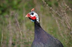 гинея fowl3 Стоковая Фотография