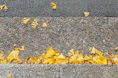 Гинкго лист желтого цвета Biloba гинкго конца-вверх, gingko, дерево maidenhair в сезоне осени на дороге в Киото Японии, взгляд св Стоковые Фото