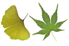 Гинкго и японский кленовый лист Стоковая Фотография RF