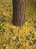 Гинкго biloba гинкго покидает дерево гинкго Стоковое Изображение
