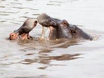 2 гиппопотама воюя в воде Стоковая Фотография