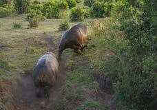 2 гиппопотама воюя в Masai Mara, Кении Стоковые Изображения RF