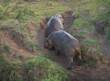 2 гиппопотама воюя в Masai Mara, Кении Стоковые Изображения