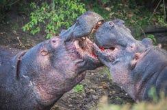 2 гиппопотама воюя к крови в Masai Mara, Кении Стоковая Фотография RF