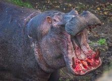 2 гиппопотама воюя к крови в Masai Mara, Кении Стоковое фото RF