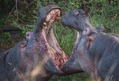 2 гиппопотама воюя к крови в Masai Mara, Кении Стоковые Изображения