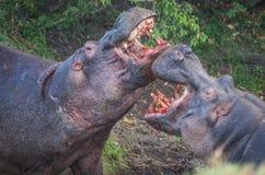 2 гиппопотама воюя к крови в Masai Mara, Кении Стоковое Изображение