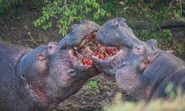 2 гиппопотама воюя к крови в Masai Mara, Кении Стоковое Изображение RF
