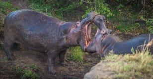 2 гиппопотама воюя к крови в Masai Mara, Кении Стоковые Изображения RF
