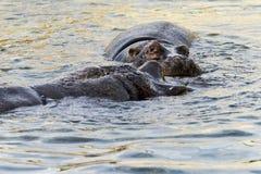 2 гиппопотама в бегемоте воды Стоковые Фото