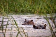 2 гиппопотама в реке Zambeze Стоковое Изображение