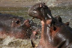 гиппопотамы бой Африки стоковое изображение rf