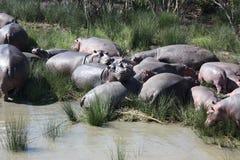 Гиппопотамы в болоте, Кейптауне, Южной Африке Стоковые Фото