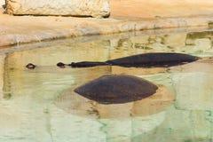 Гиппопотамы в воде Стоковое Изображение