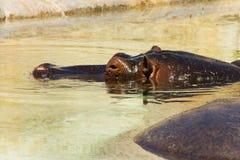 Гиппопотамы в воде Стоковые Изображения RF