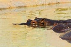 Гиппопотамы в воде Стоковое фото RF