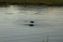 Гиппопотамы в воде Стоковая Фотография