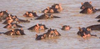 Гиппопотамы, река Mara, Танзания стоковые изображения rf