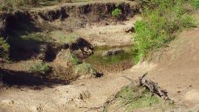 Гиппопотам в воде пруда на Африке акции видеоматериалы
