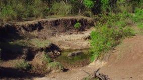 Гиппопотам в воде пруда на Африке сток-видео