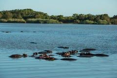 Гиппопотам в воде Южной Африке стоковое фото rf