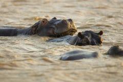 Гиппопотам в воде Южной Африке Стоковое Изображение