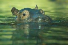 Гиппопотам в воде Стоковые Изображения