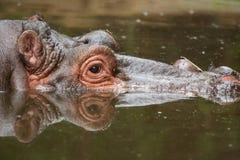 Гиппопотам в озере Стоковые Фотографии RF