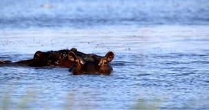 Гиппопотам в перепаде Okavango, живая природа сафари Ботсваны, Африки видеоматериал