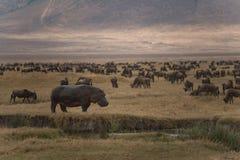 Гиппопотам и 100 антилопы гну пася в кратере Ngorongoro Стоковые Изображения RF