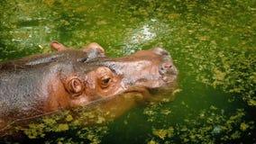 Гиппопотам идет под водой акции видеоматериалы
