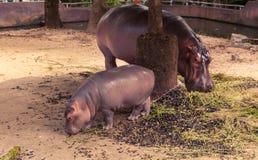 Гиппопотам и мама младенца есть еду Стоковые Фотографии RF
