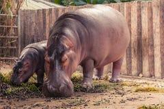 Гиппопотам и мама младенца есть еду Стоковая Фотография