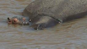 Гиппопотам и мать младенца погруженные в воду в реке mara, Кении акции видеоматериалы