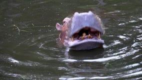 Гиппопотам отдыхая в реке акции видеоматериалы