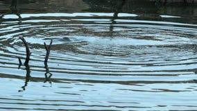 Гиппопотам отделывая поверхность в озере видеоматериал