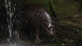 Гиппопотам пигмея, бегемот пигмея, отдыхая в воде в водопаде акции видеоматериалы