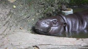 Гиппопотам пигмея, бегемот пигмея, отдыхая в воде сток-видео