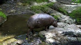 гиппопотам пигмея 4K идя около реки в лесе зоопарка Бегемот пигмея сток-видео