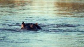 Гиппопотам плавает под водой, тогда он возглавляет подъемы из воды сток-видео