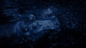 Гиппопотам погрузит в воду в лагуне на ноче сток-видео