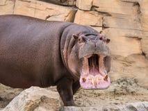 Гиппопотам раскрывает его рот Стоковая Фотография RF