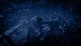 Гиппопотам ревет и погрузит в воду на ноче акции видеоматериалы