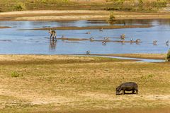 Гиппопотам, самец оленя воды и гусыни на реке Стоковая Фотография