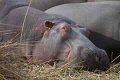 Гиппопотам спать на траве стоковые изображения
