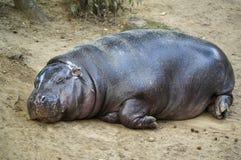 Гиппопотам спать Стоковая Фотография RF