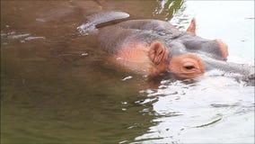 Гиппопотам (amphibius бегемота) сток-видео