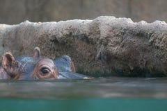 гиппопотам peeking вода Стоковая Фотография
